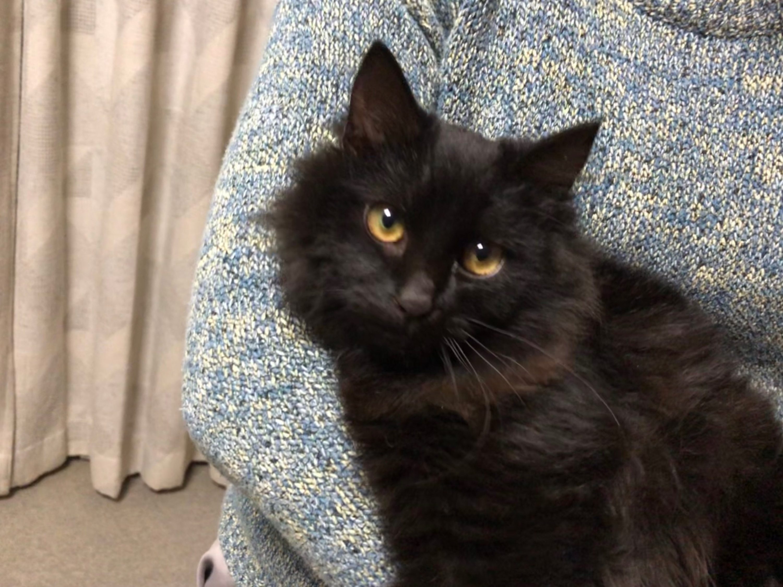 迷子猫(長毛の黒猫、生後半年くらいのオス)保護してます